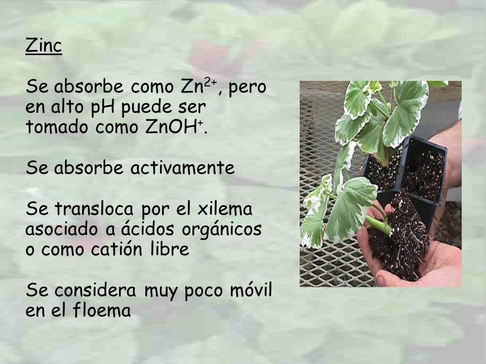 Zinc Se absorbe como Zn2+, pero en alto pH puede ser tomado como ZnOH+. Se absorbe activamente.
