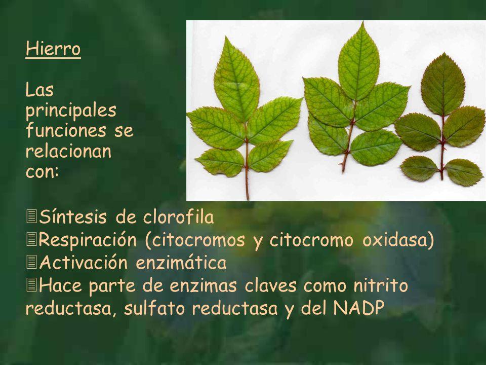 Hierro Las principales funciones se relacionan con: Síntesis de clorofila. Respiración (citocromos y citocromo oxidasa)