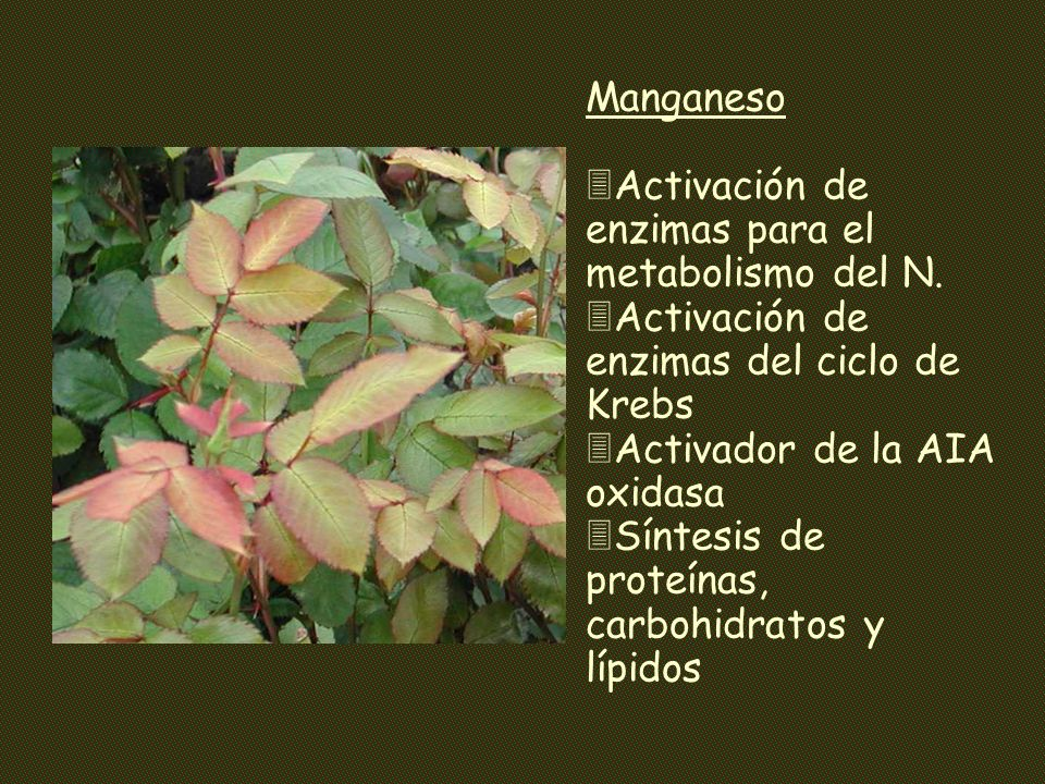 Manganeso Activación de enzimas para el metabolismo del N. Activación de enzimas del ciclo de Krebs.
