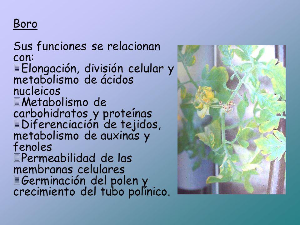 Boro Sus funciones se relacionan con: Elongación, división celular y metabolismo de ácidos nucleicos.