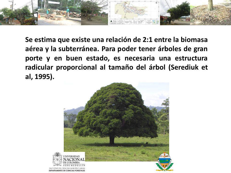 Se estima que existe una relación de 2:1 entre la biomasa aérea y la subterránea.
