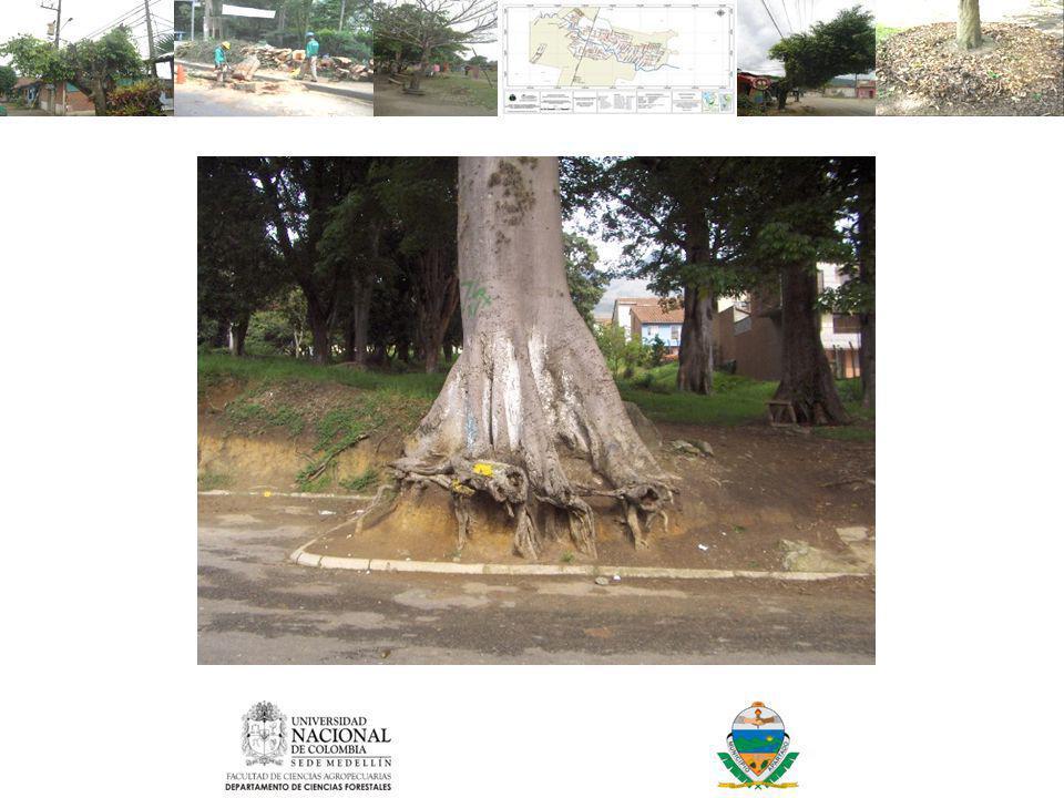 La destrucción de una raíz principal puede originar una perdida entre un 5 y 20% del sistema radicular.