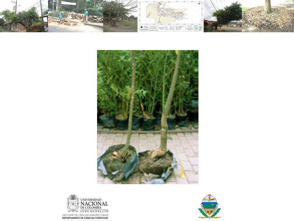 Árboles con problemas de raíces desde el vivero