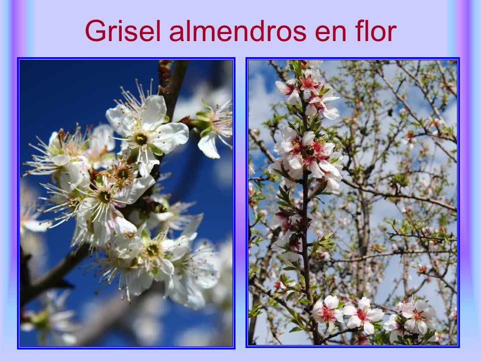Grisel almendros en flor