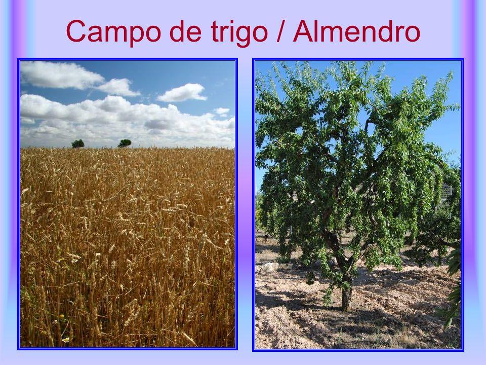 Campo de trigo / Almendro