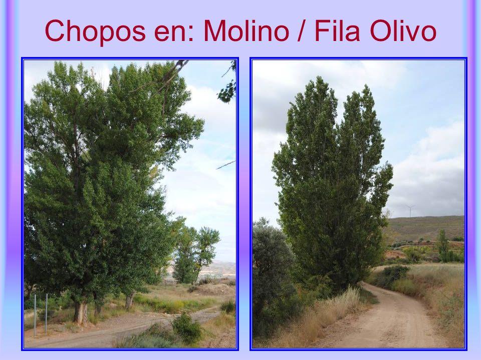 Chopos en: Molino / Fila Olivo