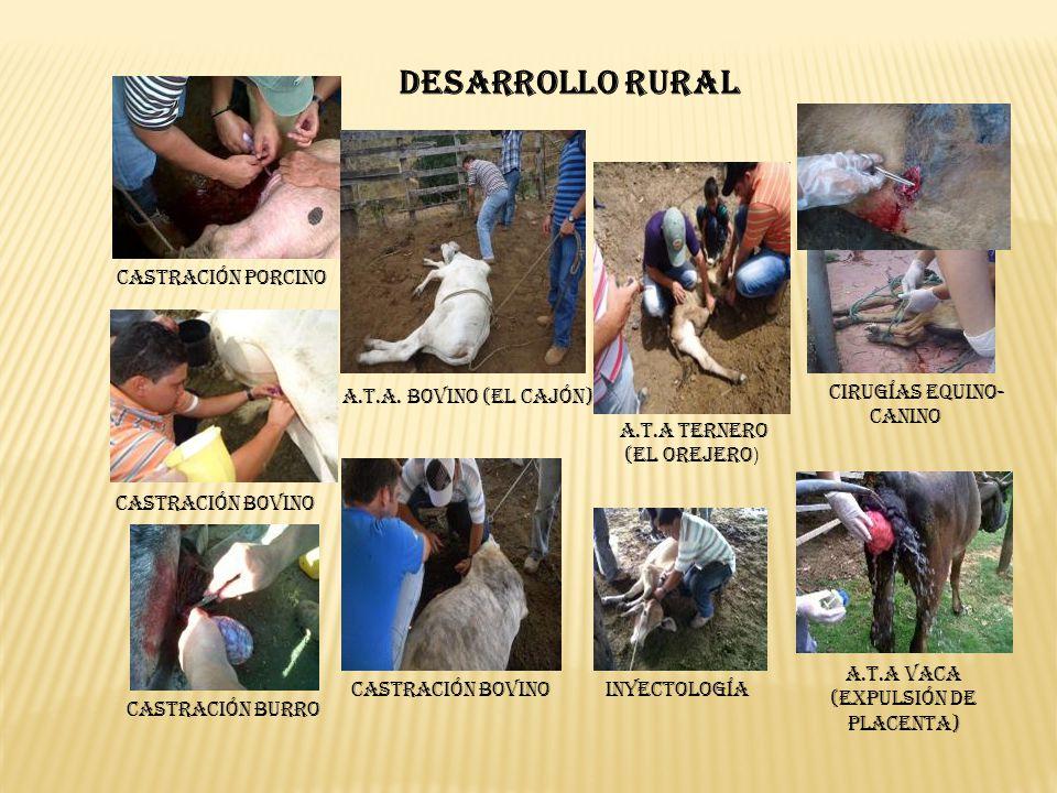 DESARROLLO RURAL Castración Porcino A.T.A. Bovino (El Cajón)