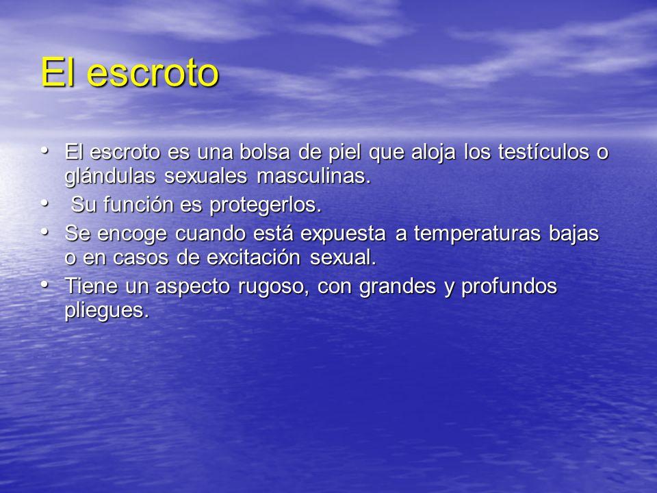 El escrotoEl escroto es una bolsa de piel que aloja los testículos o glándulas sexuales masculinas.