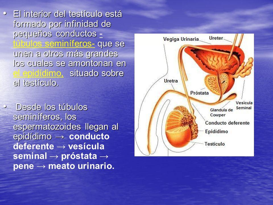 El interior del testículo está formado por infinidad de pequeños conductos -túbulos seminíferos- que se unen a otros más grandes los cuales se amontonan en el epidídimo, situado sobre el testículo.