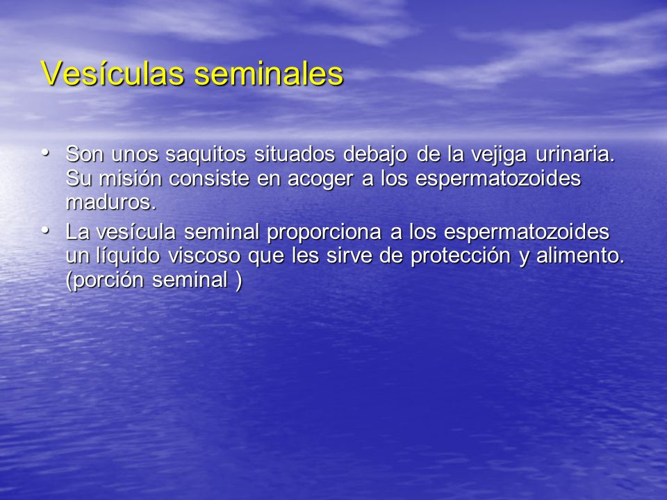 Vesículas seminales Son unos saquitos situados debajo de la vejiga urinaria. Su misión consiste en acoger a los espermatozoides maduros.