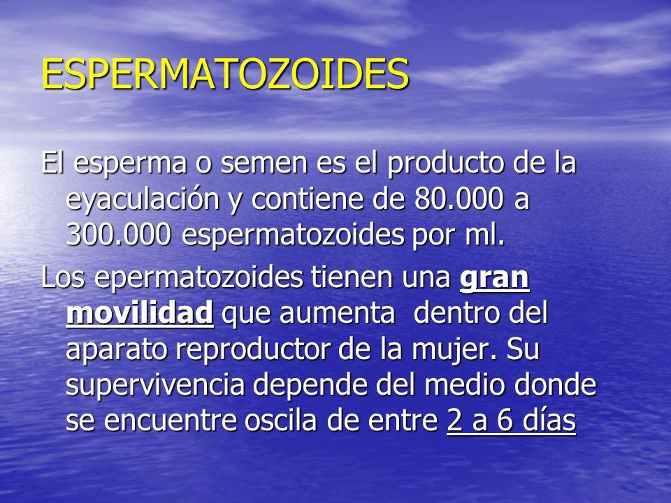 ESPERMATOZOIDES El esperma o semen es el producto de la eyaculación y contiene de 80.000 a 300.000 espermatozoides por ml.