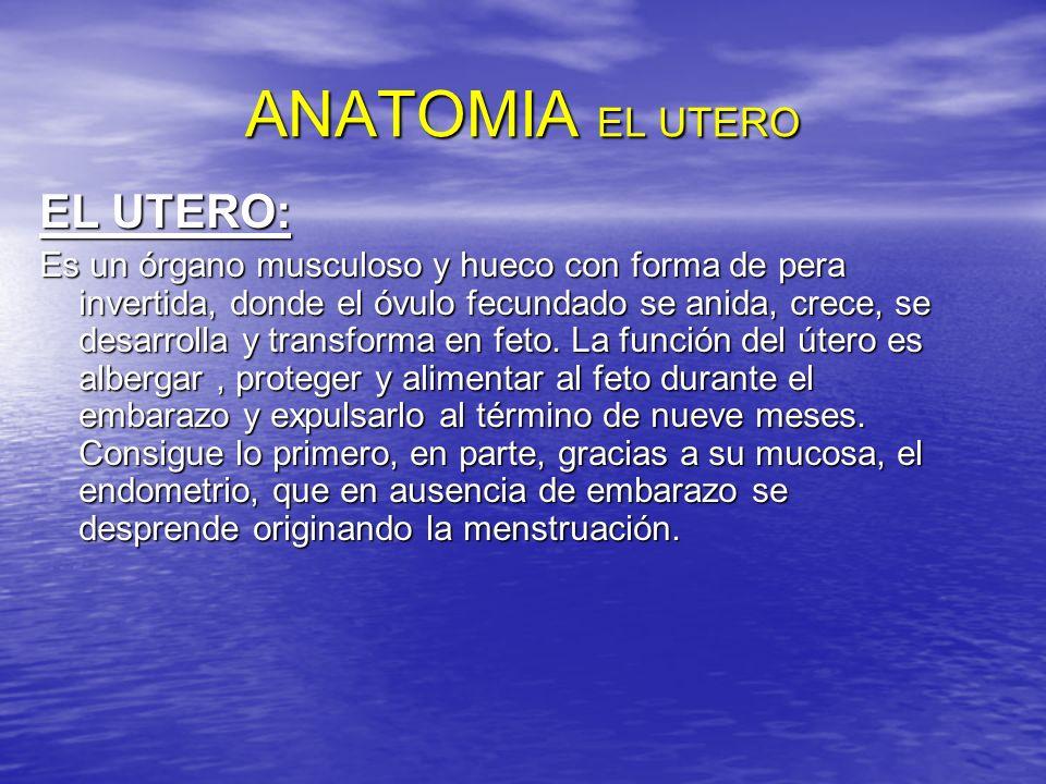 ANATOMIA EL UTERO EL UTERO: