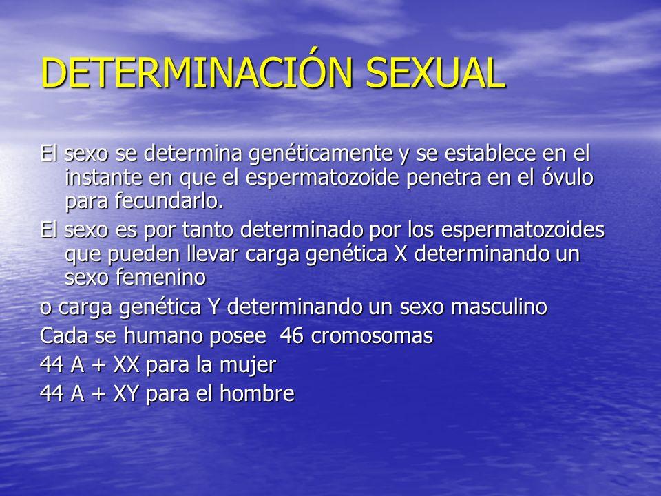 DETERMINACIÓN SEXUALEl sexo se determina genéticamente y se establece en el instante en que el espermatozoide penetra en el óvulo para fecundarlo.