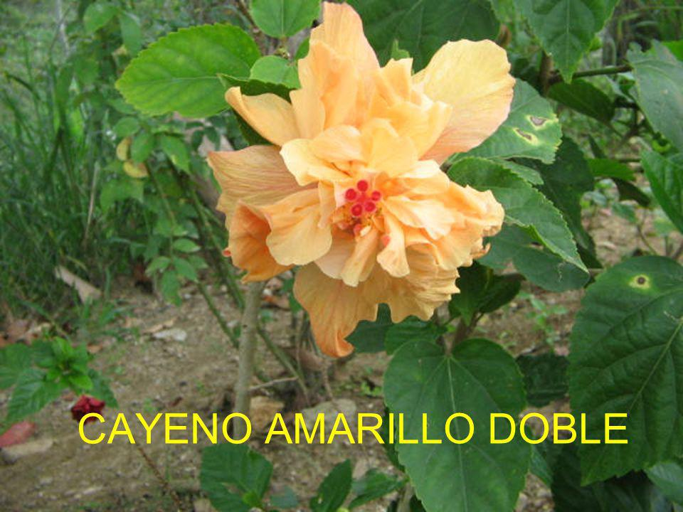 CAYENO AMARILLO DOBLE