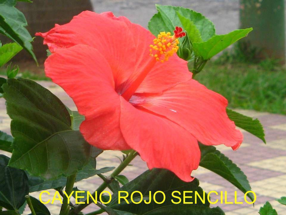 CAYENO ROJO SENCILLO