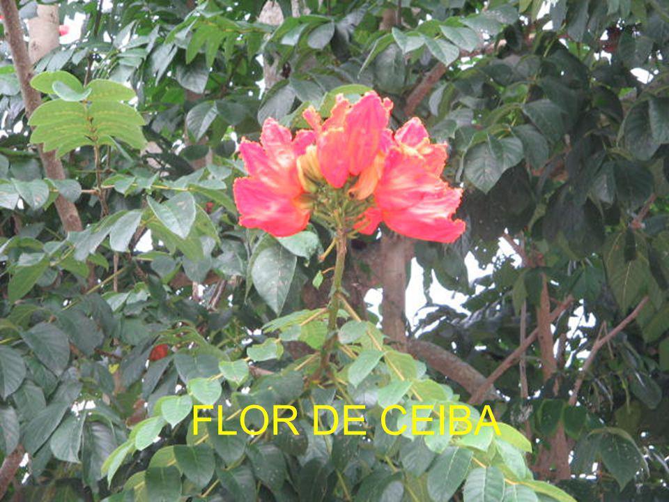 FLOR DE CEIBA