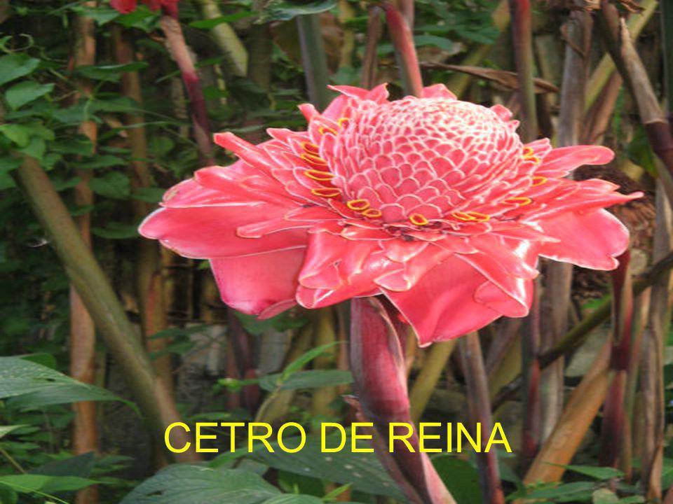 CETRO DE REINA