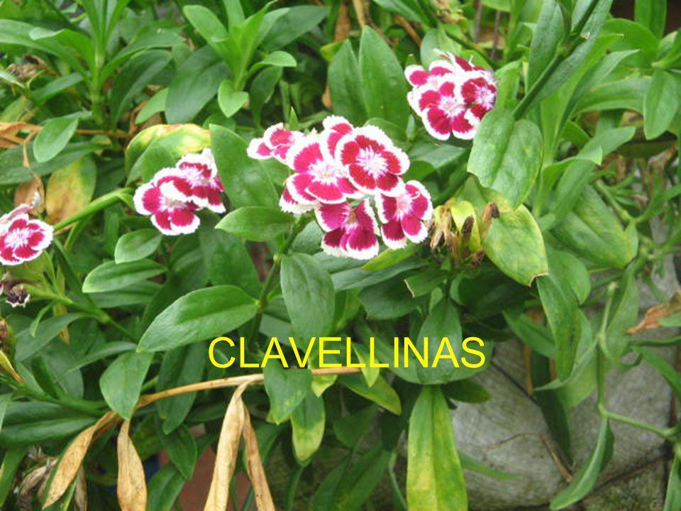 CLAVELLINAS