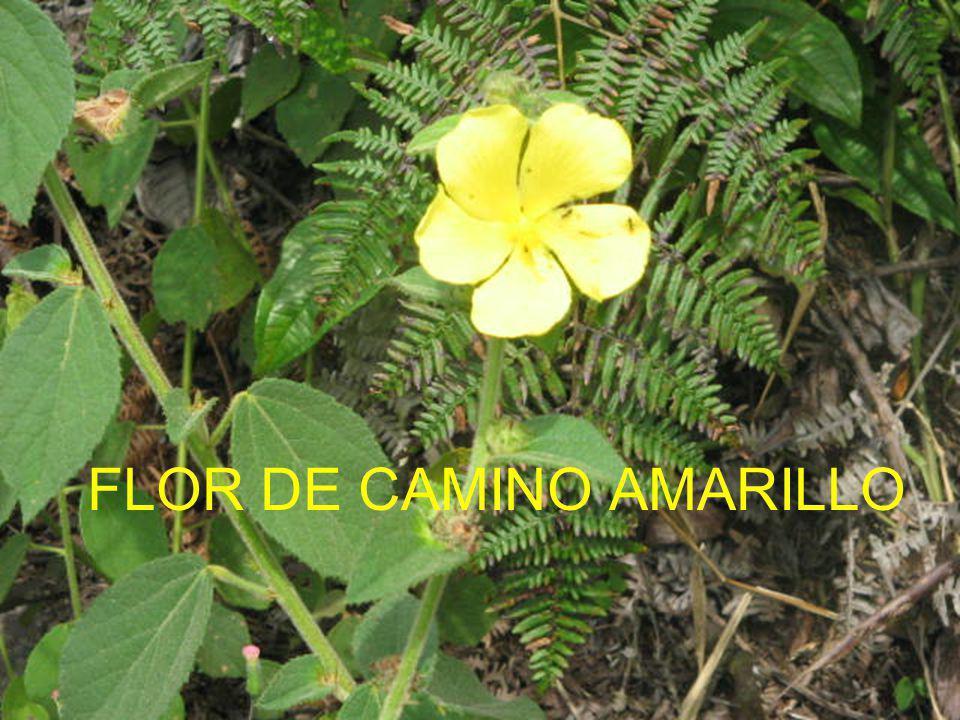 FLOR DE CAMINO AMARILLO