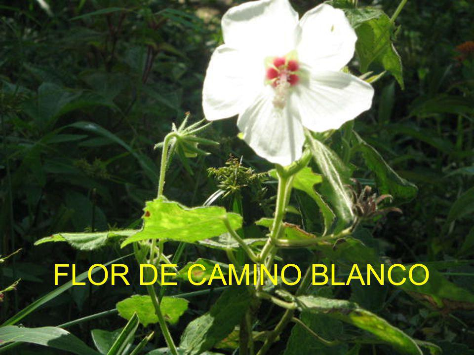 FLOR DE CAMINO BLANCO