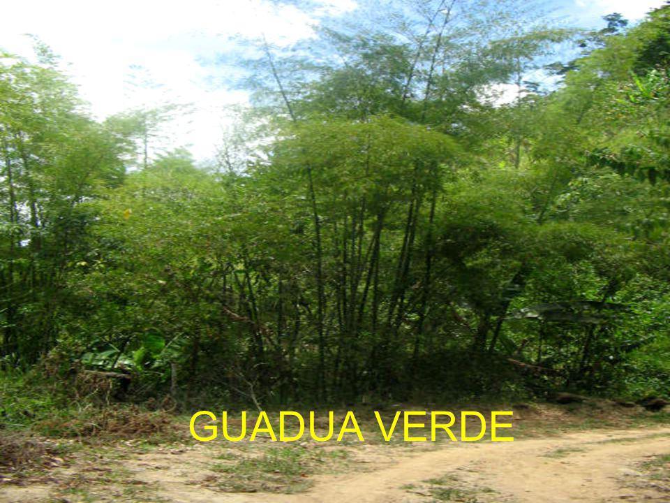 GUADUA VERDE