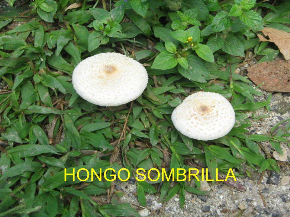 HONGO SOMBRILLA