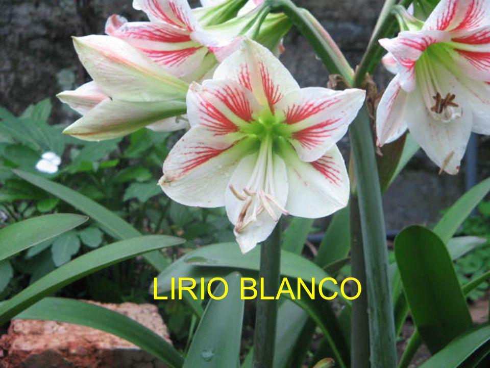 LIRIO BLANCO
