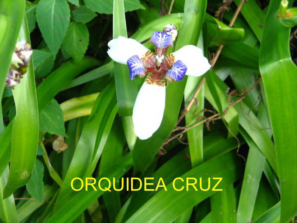 ORQUIDEA CRUZ