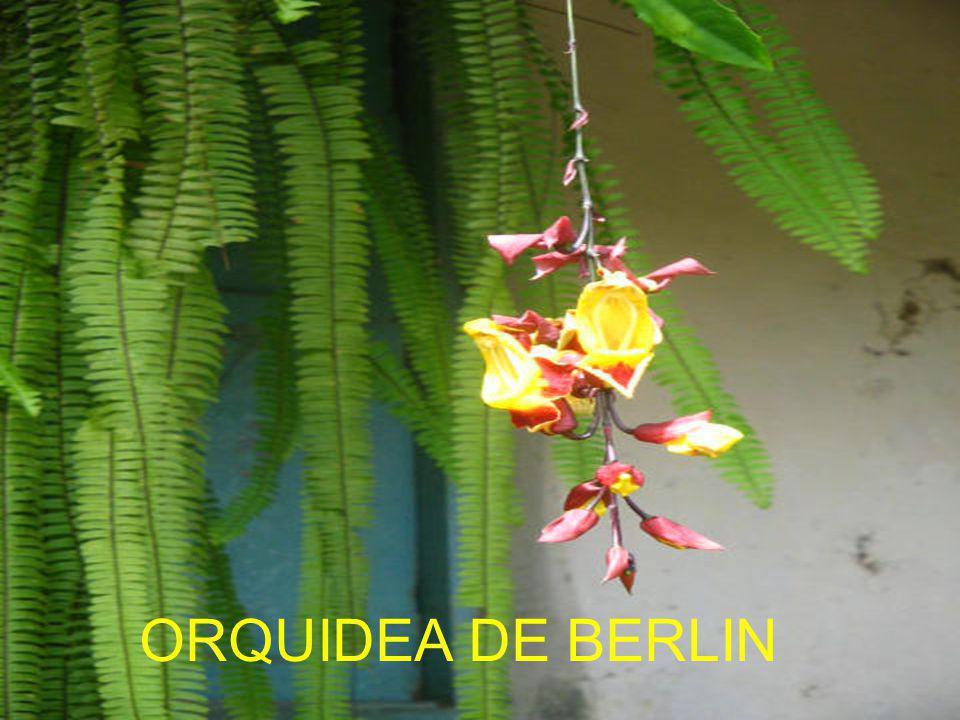 ORQUIDEA DE BERLIN