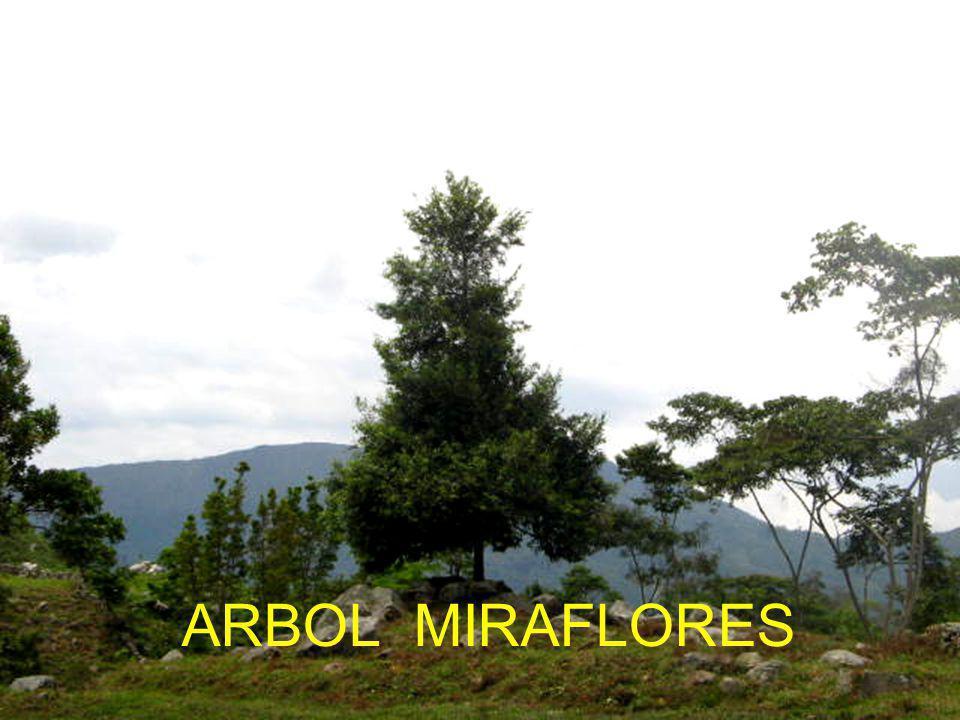 ARBOL MIRAFLORES