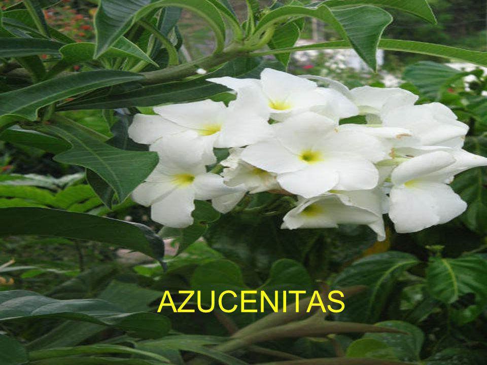 AZUCENITAS