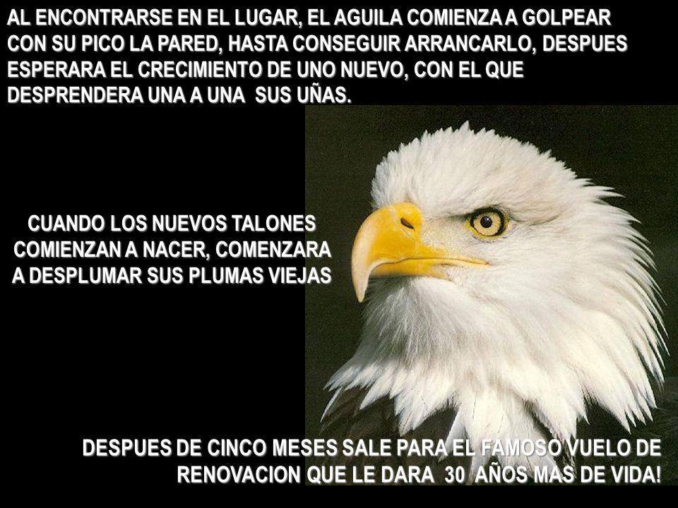 AL ENCONTRARSE EN EL LUGAR, EL AGUILA COMIENZA A GOLPEAR CON SU PICO LA PARED, HASTA CONSEGUIR ARRANCARLO, DESPUES ESPERARA EL CRECIMIENTO DE UNO NUEVO, CON EL QUE DESPRENDERA UNA A UNA SUS UÑAS.
