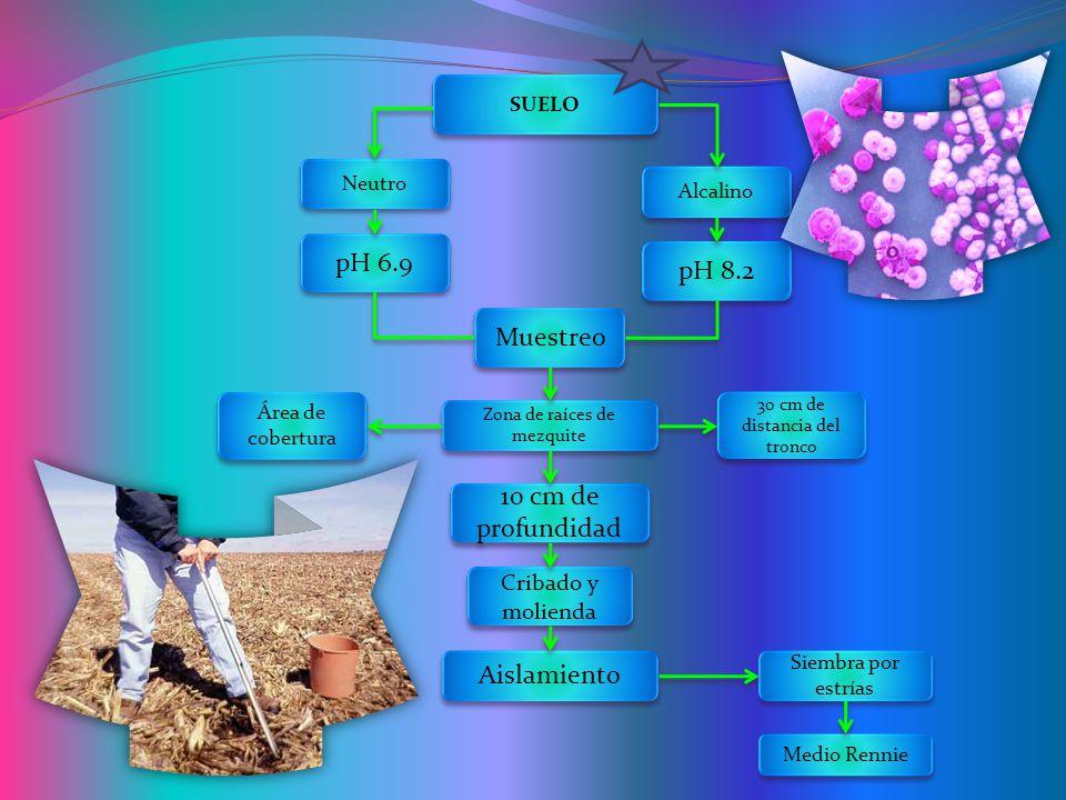 pH 6.9 pH 8.2 Muestreo 10 cm de profundidad Aislamiento