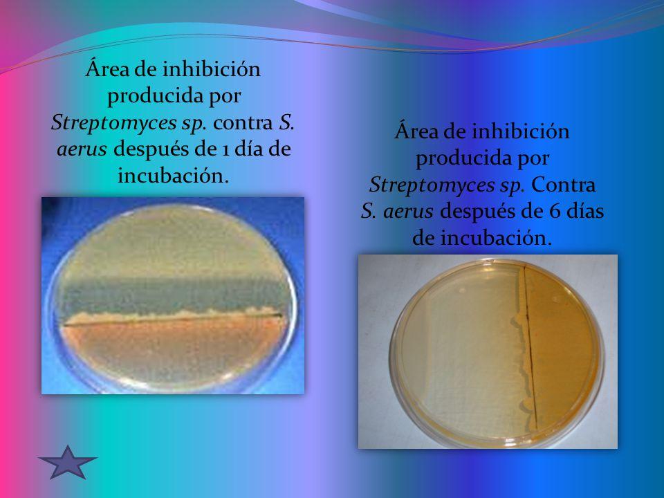 Área de inhibición producida por Streptomyces sp. contra S