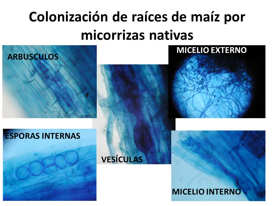 Colonización de raíces de maíz por micorrizas nativas