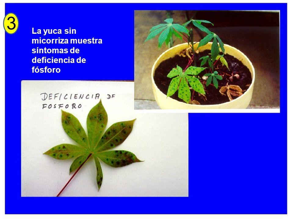 3 La yuca sin micorriza muestra síntomas de deficiencia de fósforo