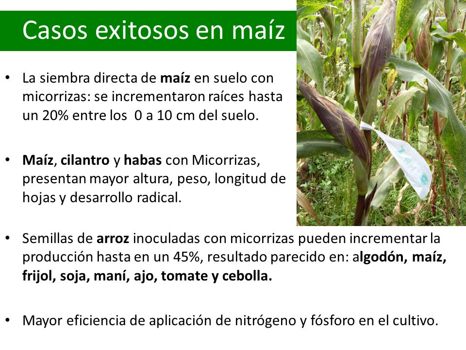 Casos exitosos en maíz La siembra directa de maíz en suelo con micorrizas: se incrementaron raíces hasta un 20% entre los 0 a 10 cm del suelo.