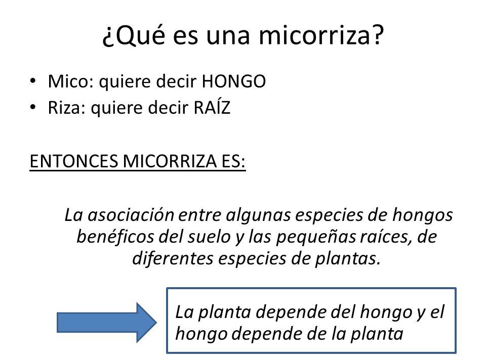 ¿Qué es una micorriza Mico: quiere decir HONGO