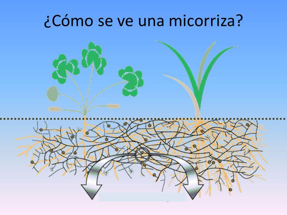 ¿Cómo se ve una micorriza