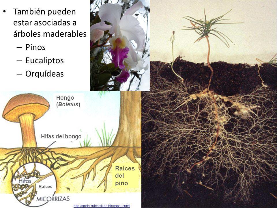 También pueden estar asociadas a árboles maderables