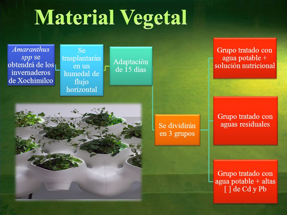 Material Vegetal Grupo tratado con agua potable + solución nutricional