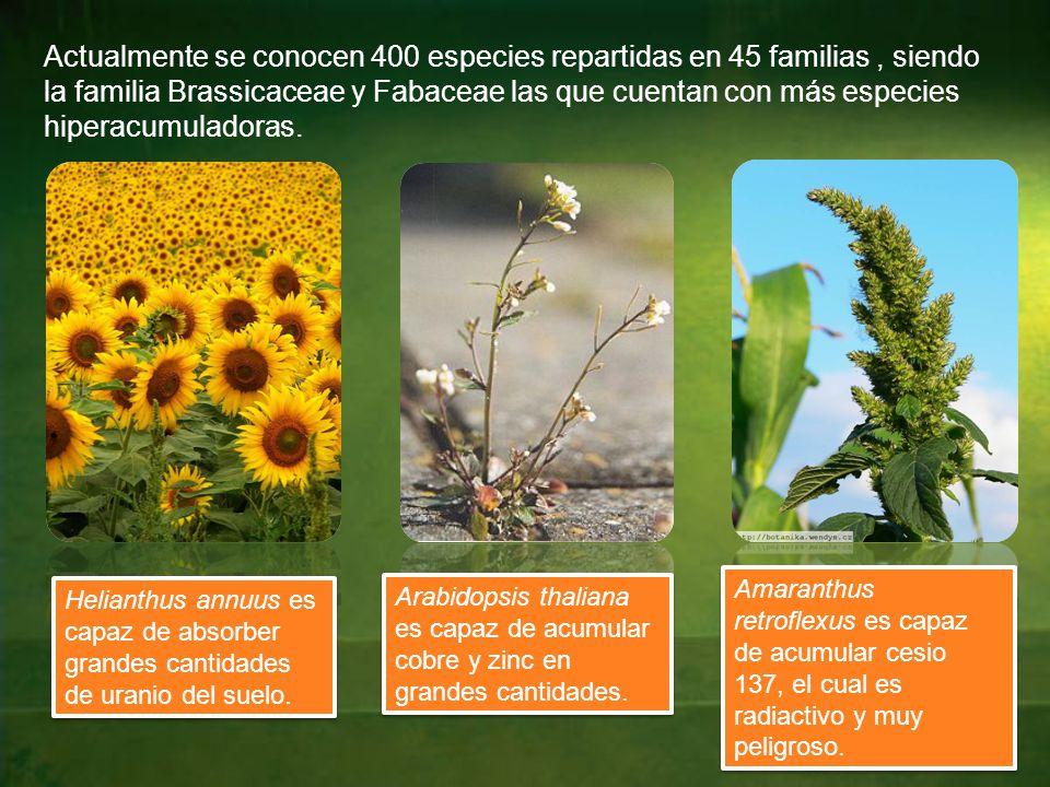 Actualmente se conocen 400 especies repartidas en 45 familias , siendo la familia Brassicaceae y Fabaceae las que cuentan con más especies hiperacumuladoras.