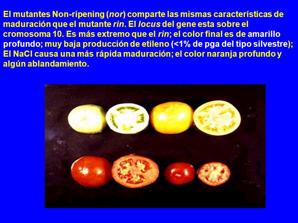 El mutantes Non-ripening (nor) comparte las mismas características de maduración que el mutante rin.