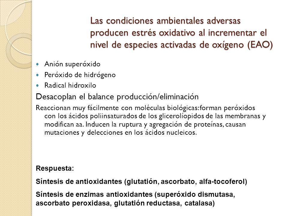 Las condiciones ambientales adversas producen estrés oxidativo al incrementar el nivel de especies activadas de oxígeno (EAO)