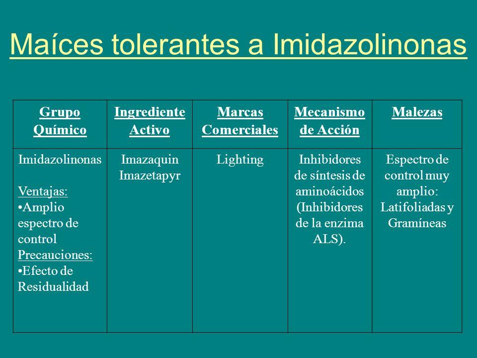 Maíces tolerantes a Imidazolinonas