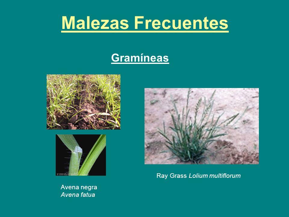 Malezas Frecuentes Gramíneas Ray Grass Lolium multiflorum Avena negra