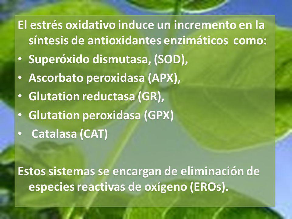El estrés oxidativo induce un incremento en la síntesis de antioxidantes enzimáticos como: