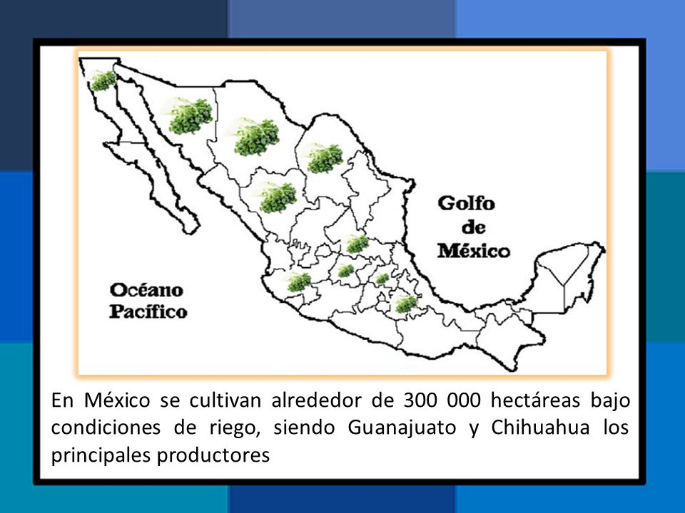 En México se cultivan alrededor de 300 000 hectáreas bajo condiciones de riego, siendo Guanajuato y Chihuahua los principales productores