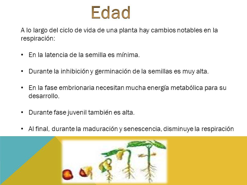 Edad A lo largo del ciclo de vida de una planta hay cambios notables en la respiración: En la latencia de la semilla es mínima.