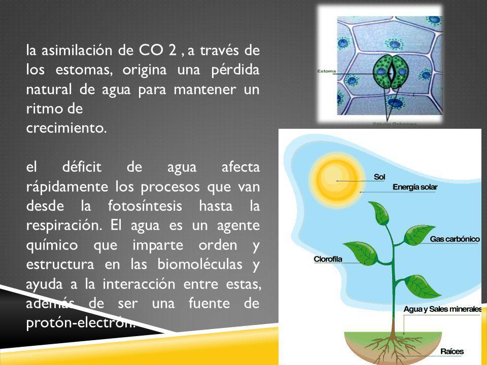 la asimilación de CO 2 , a través de los estomas, origina una pérdida natural de agua para mantener un ritmo de
